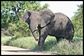 Elephant Bull (photo by Joubert)
