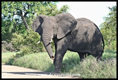Elephant Bull (photo by Joubert)