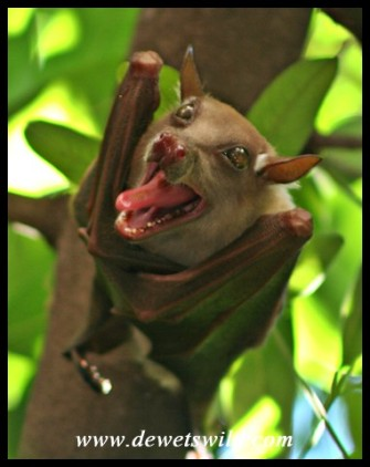 Epauletted Fruit Bat (photo by Joubert)