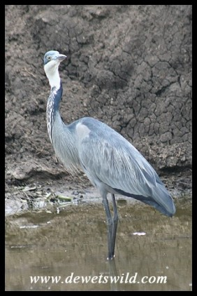Black-headed Heron (photo by Joubert)