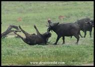 Buffalo fight! (photo by Joubert)
