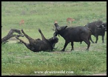 Buffalo fight! (photo by Joubert)
