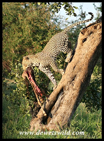 Leopard and kill (photo by Joubert)