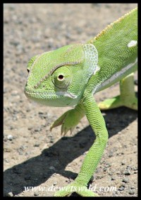 Flap-neck Chameleon (photo by Joubert)
