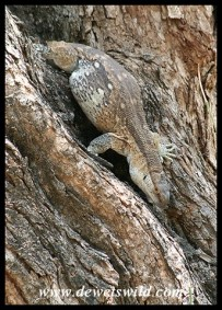 Rock Monitor (photo by Joubert)