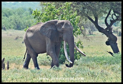 Tusker N'wendlamuhari (photo by Joubert)