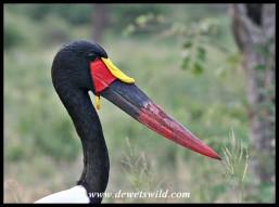 Saddle-billed Stork (photo by Joubert)