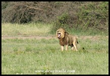 Snarling Lion (photo by Joubert)