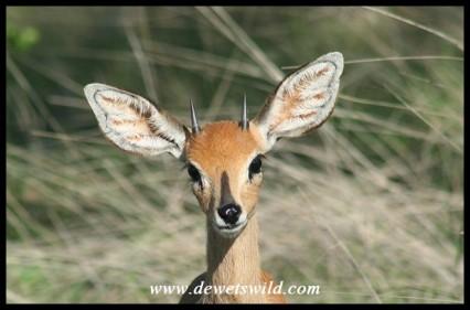 Inquisitive Steenbok (photo by Joubert)