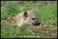 Spotted Hyena cub (photo by Joubert)