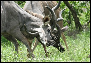 Kudu bulls in serious fight (photo by Joubert)