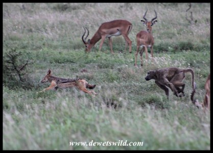 Baboon chasing a Black-backed Jackal