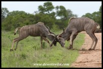 Kudu bulls in serious fight