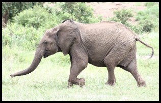Elephant youngster