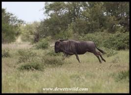 Fleeing Blue Wildebeest