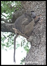 Baboons use precarious beds