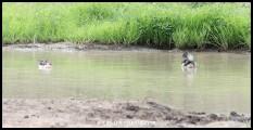 Knob-billed Duck pair