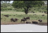 Buffaloes at a waterhole