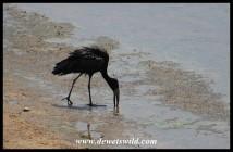 African Openbill Stork