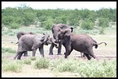 Elephant youngsters testing their mettle