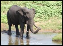 Big Elephant Bull