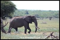 Gorgeous Tusker N'wendlamuhari (2020/01/02)