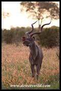 Kudu at sunset