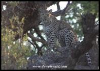 Leopardess in a tree