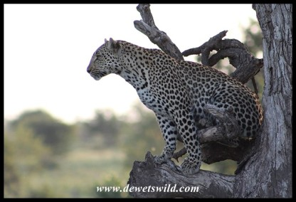 Her interest peaked by a growl from the male, the leopardess moves to a lower branch