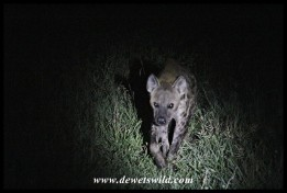 Hyena looking menacing as it emerges from the dark