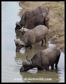 Buffaloes drinking at Nsemani Dam
