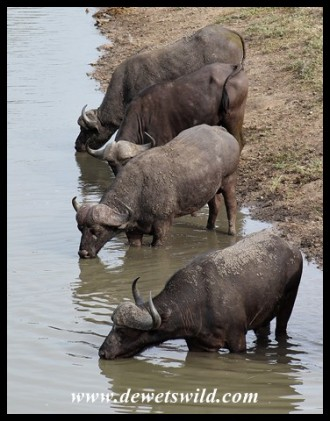 Buffaloes drinking at Nsemani Dam