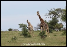 Giraffes on the way to Orpen