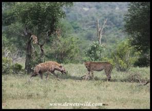 Hyena and cheetah interaction at Orpen