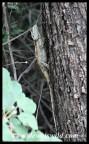 Tree Agama female