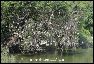 Village Weaver nests hanging over a pool in the Sabie River