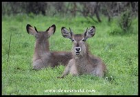 Young Waterbuck rams