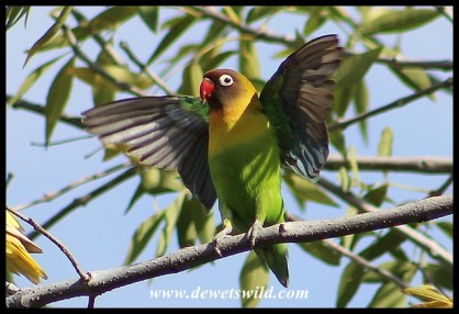Feral Lovebird