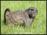 Female Baboon in oestrus