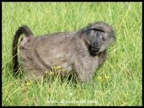 Female Baboon in oestrus