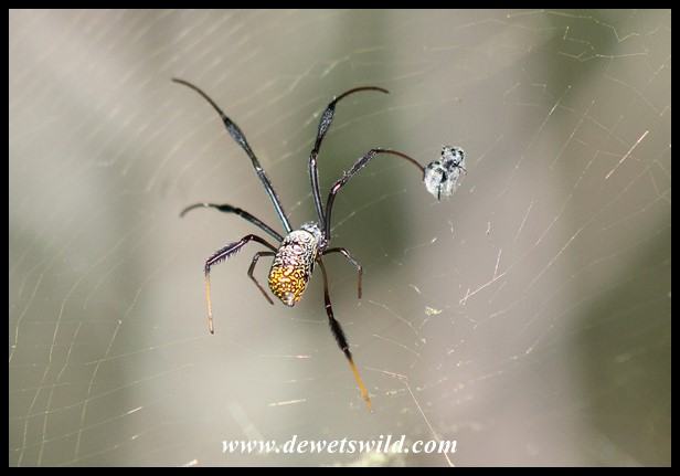 Golden Orb-web Spider female with prey