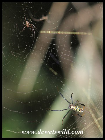 Golden Orb-web Spider - male top left, female bottom right