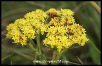 Helichrysum-species