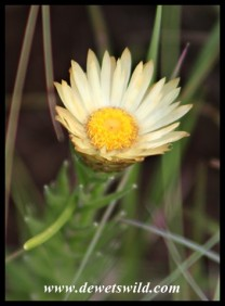Everlasting (Helichrysum-species)