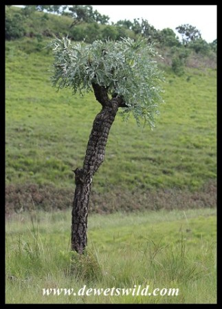 Highveld Cabbage Tree