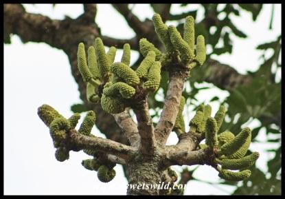 Highveld Cabbage Tree flowers