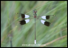 Mountain Malachite Damselfly