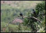 Red-winged Starlings
