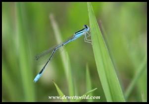 Swamp Bluet