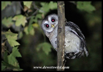 This African Wood Owl woke Marilize and me up for some bird-watching at 3am!
